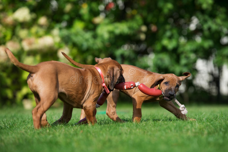 Twee het aanbiddelijke ridgebackpuppy spelen stock afbeelding