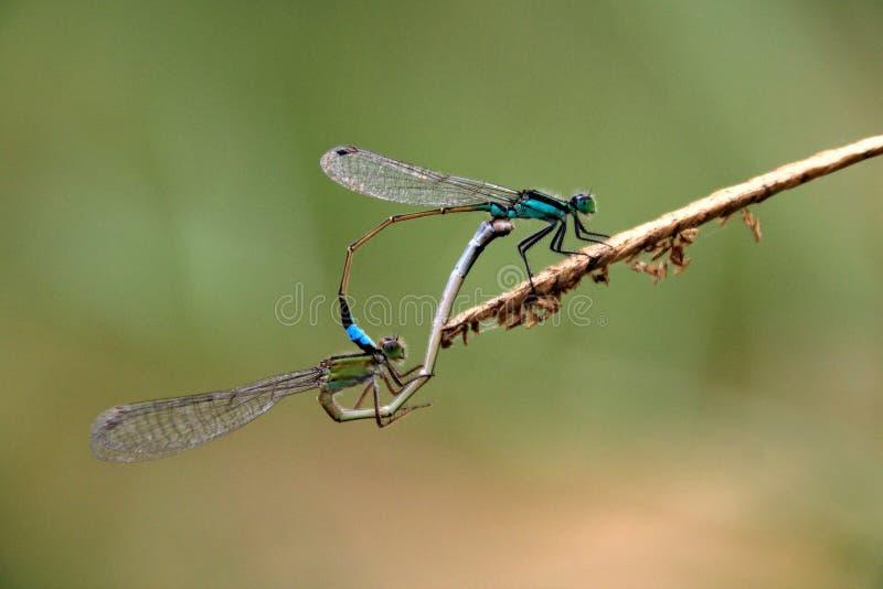 Twee het blauwgroene libellen koppelen stock foto's