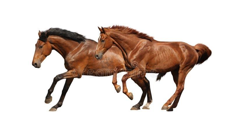 Twee het bruine paarden lopen snel geïsoleerd op wit stock foto