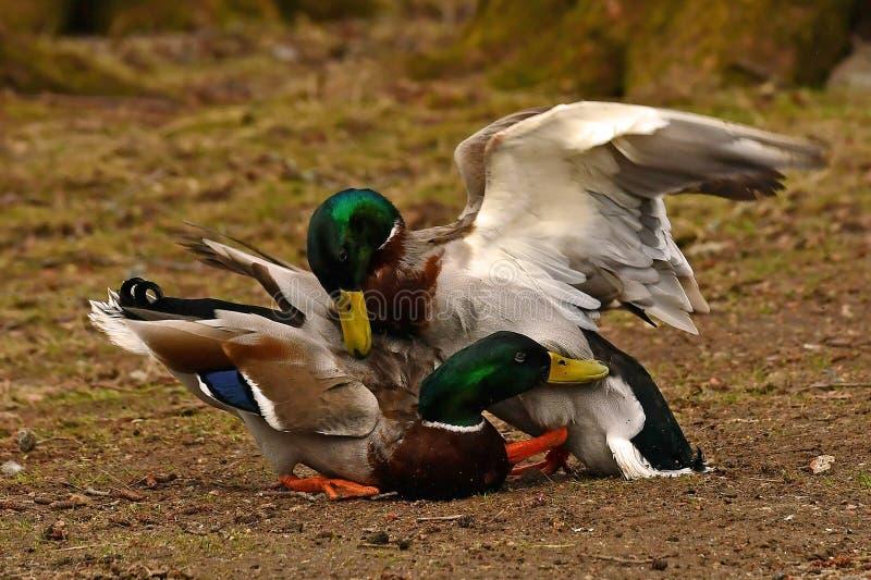 Twee het Gemeenschappelijke mannetje van de wilde eendeend, strijd in de lente over het wijfje stock foto's