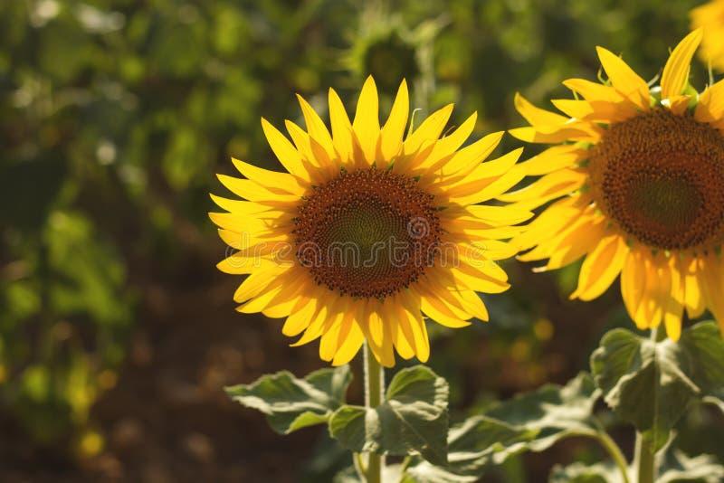 Twee het gloeien zonnebloemen het bloeien stock afbeeldingen