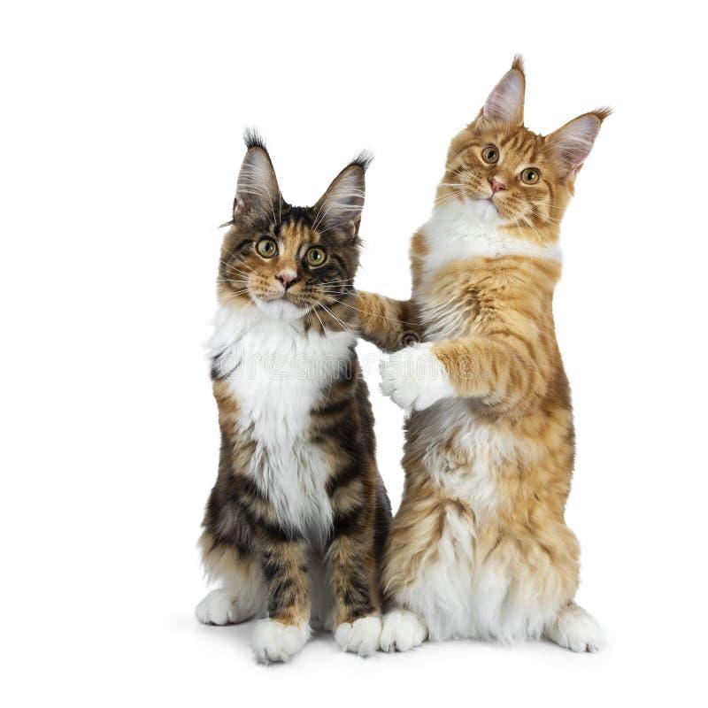 Twee het grappige Maine Coon-kattenkatjes zitten speels naast elkaar, men die op achterste poten andere, geïsoleerd op witte back royalty-vrije stock afbeeldingen