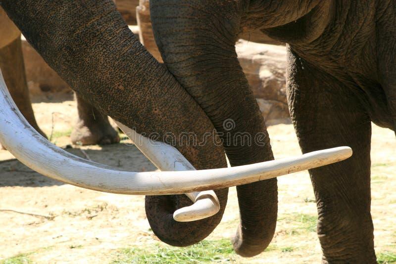 Twee het houden van boomstammen (olifanten) royalty-vrije stock foto's