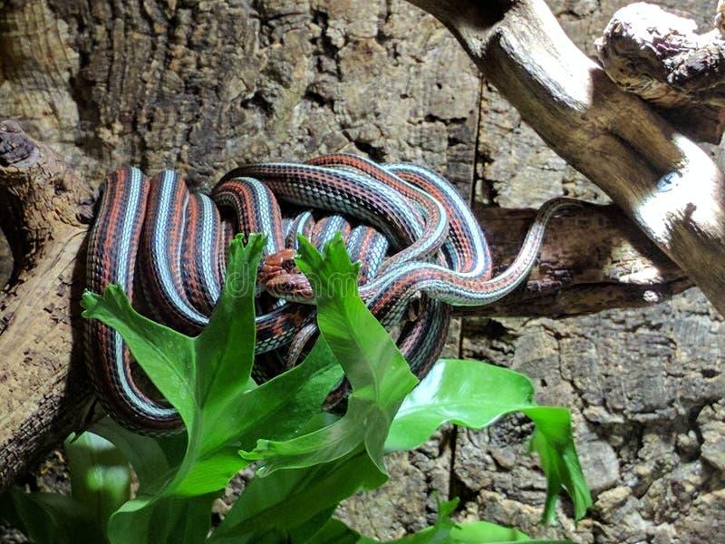 Twee het houden van slangen stock fotografie