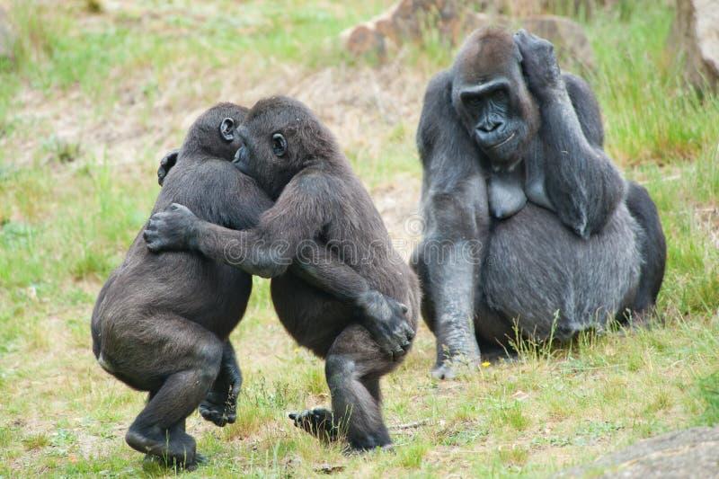 Twee het jonge gorilla's dansen stock afbeeldingen