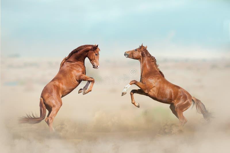 Twee het jonge hengsten vechten stock afbeeldingen