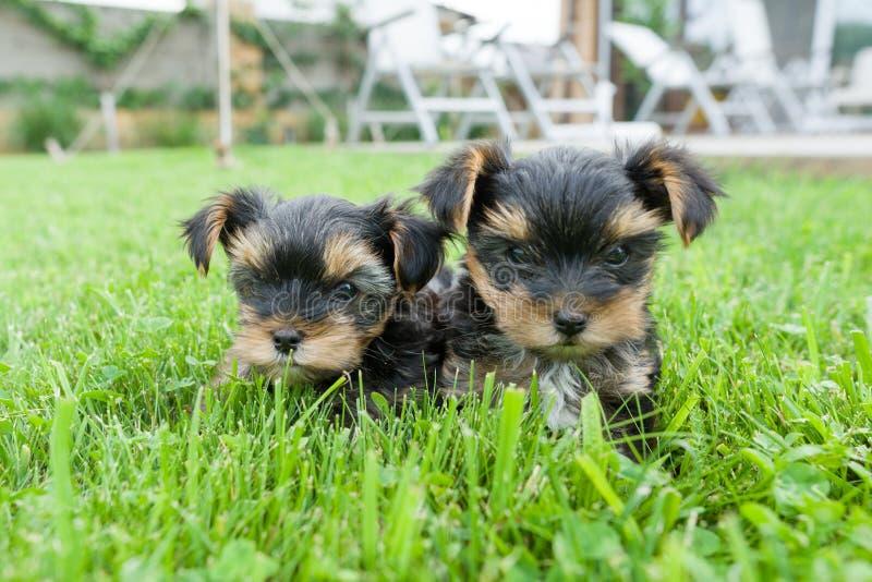 Twee het kleine Yorkshire terriërpuppy stellen in aard De honden zitten op groen gazon, bekijkend de camera, close-up stock afbeelding