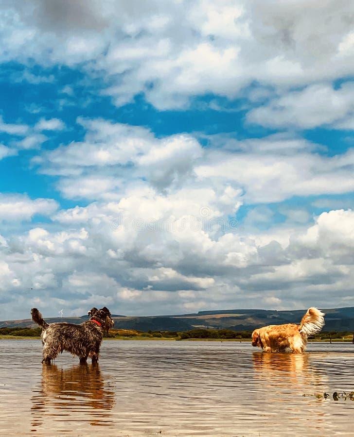 Twee het koelen van de hond neer in pool op hete dag stock foto's