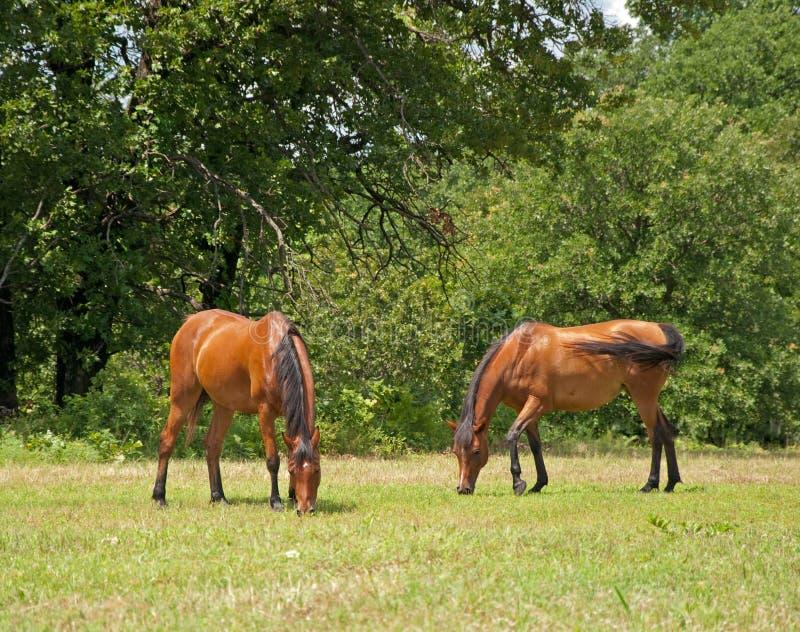 Twee het mooie glanzende baai Arabische paarden weiden stock foto's