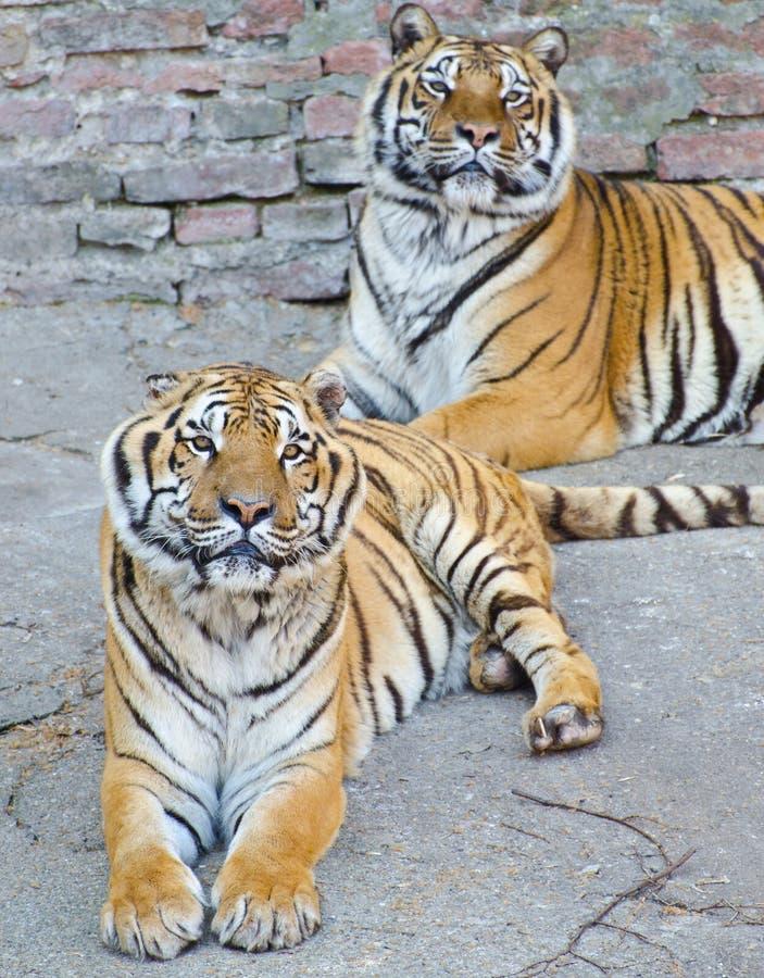 Twee het mooie tijgers van Bengalen rusten stock afbeelding
