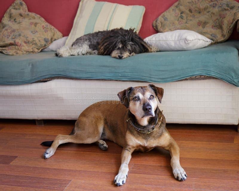 Twee het oude honden ontspannen royalty-vrije stock afbeeldingen