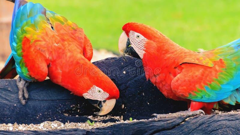 Twee het rode ara's voeden van zaden stock foto