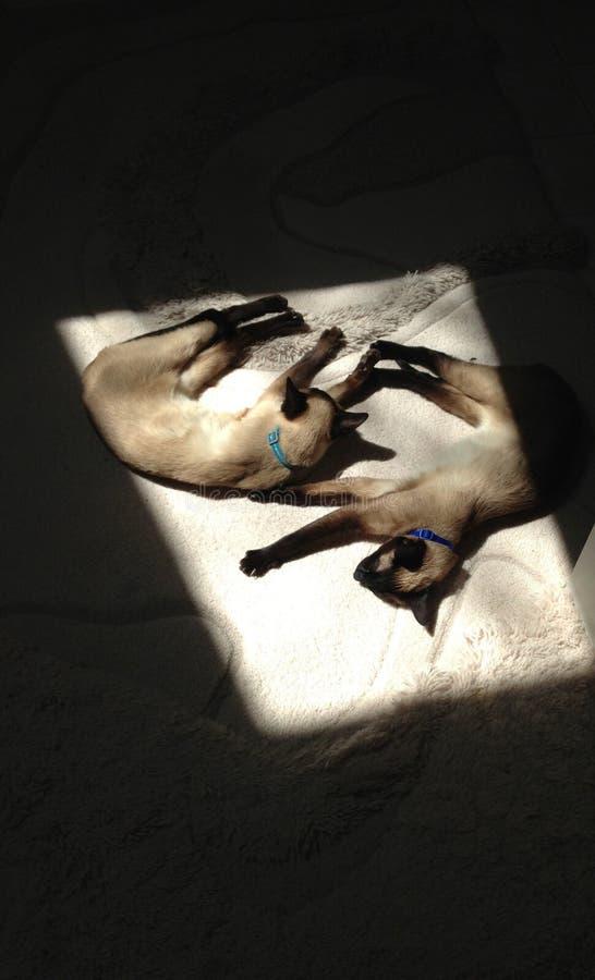 Twee het Siamese zusterkatten zonnebaden stock afbeeldingen