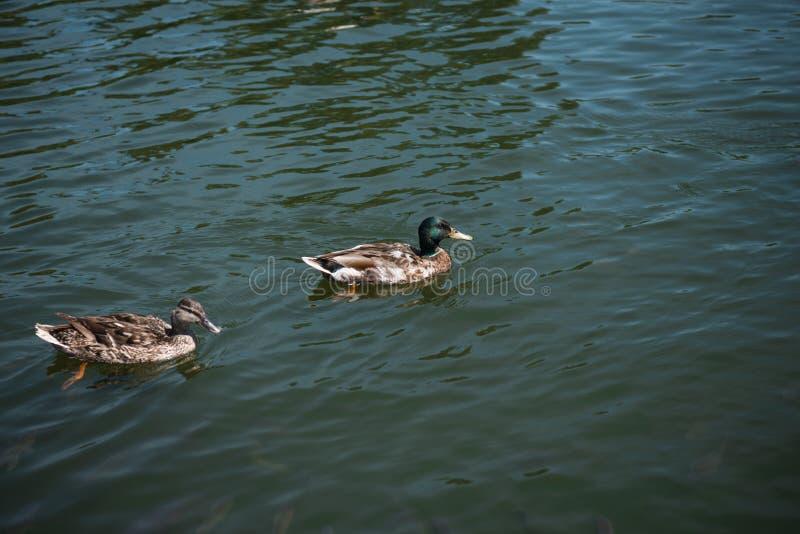 Twee het wilde eenden zwemmen royalty-vrije stock afbeeldingen