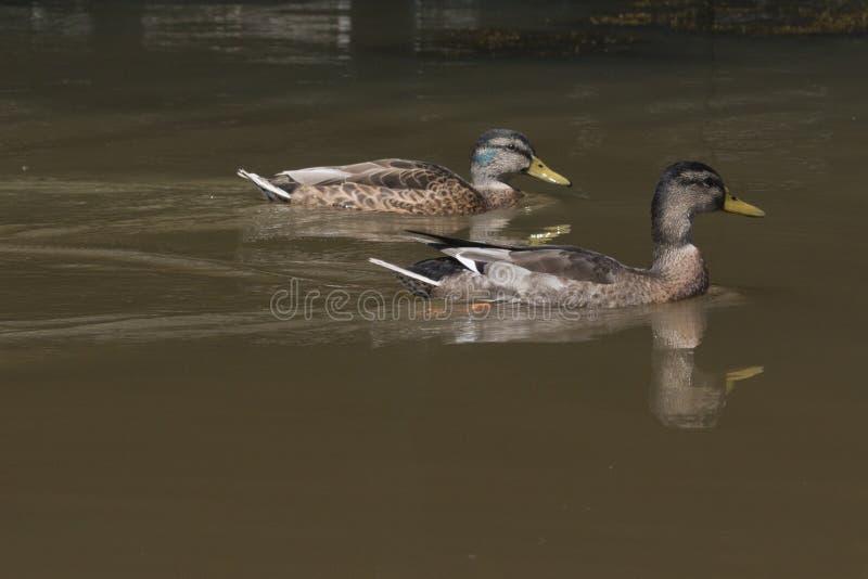 Twee het wilde eenden zwemmen stock afbeeldingen
