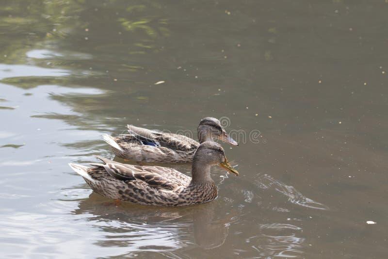 Twee het wilde eenden zwemmen royalty-vrije stock fotografie