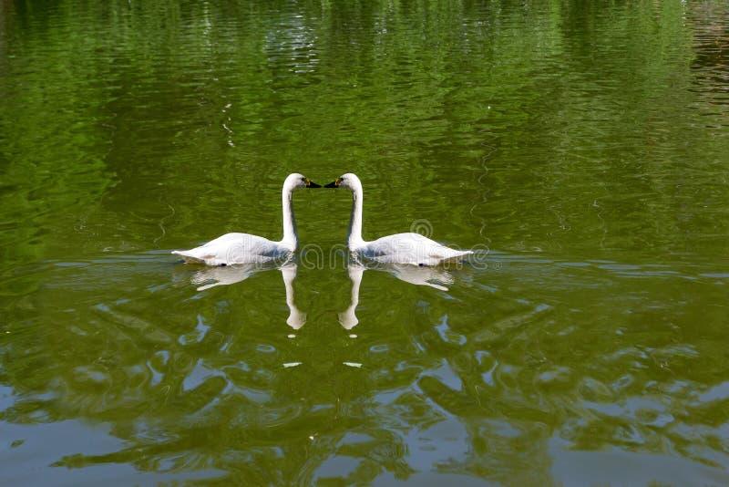 Twee het wilde witte zwanen zwemmen stock foto's