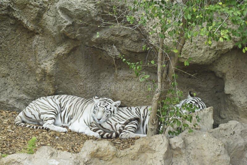 Twee het witte tijgers slapen stock foto's