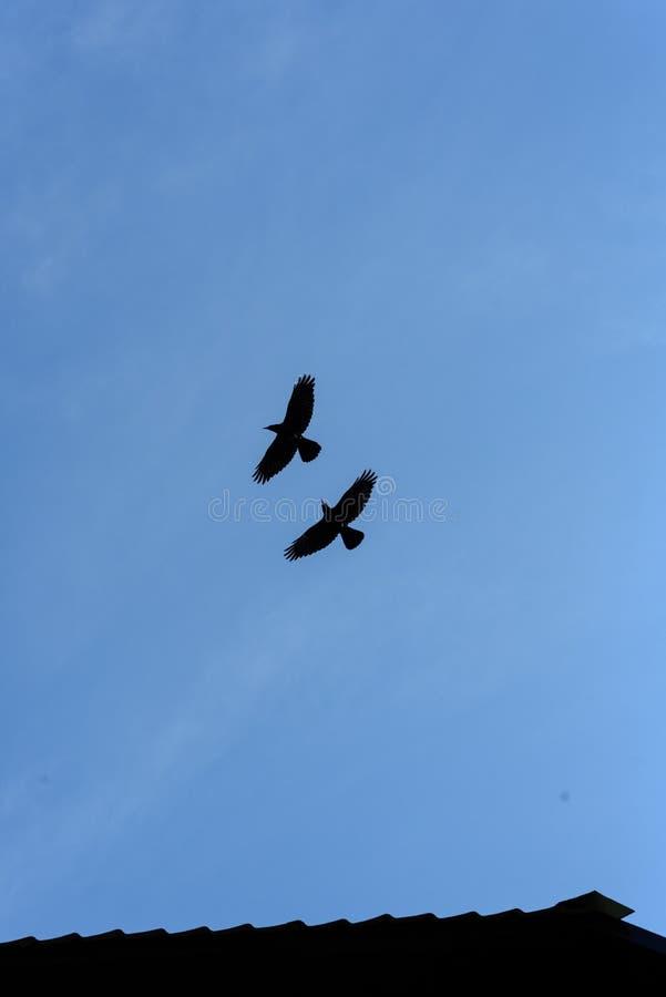 Twee het Zwarte Kraaien Vliegen royalty-vrije stock foto