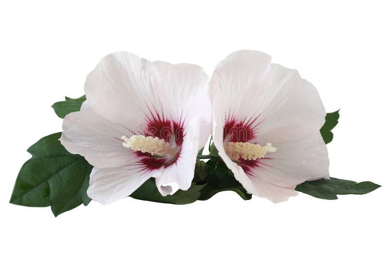 Twee hibiscus stock afbeeldingen