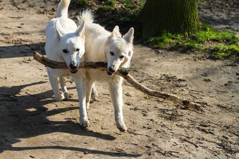 Twee honden die één grote stok, beste vrienden, groepswerk dragen stock afbeelding