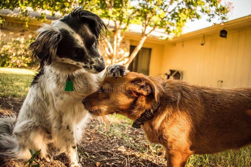 Twee honden die affectie tonen royalty-vrije stock afbeelding