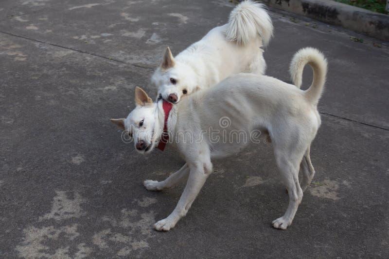 Twee honden die agressief spelen En openlucht honden die samen spelen vechten stock afbeeldingen