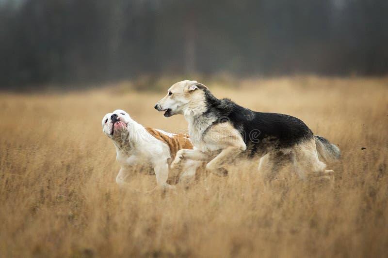 Twee honden die bij camera lopen Bastaarde en Engelse buldoghond openlucht stock foto's