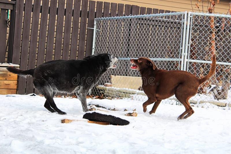 Twee honden die in een binnenplaats tijdens de winter vechten royalty-vrije stock foto's