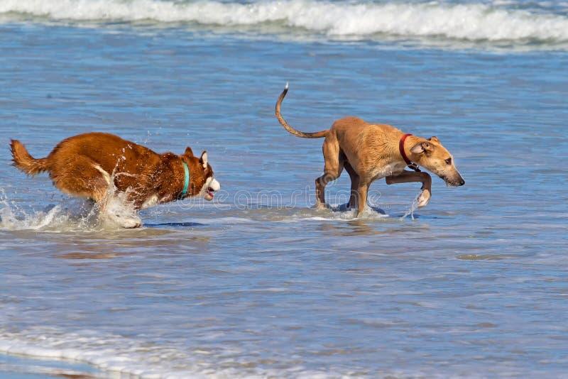 Twee honden die elkaar in overzees achtervolgen stock fotografie
