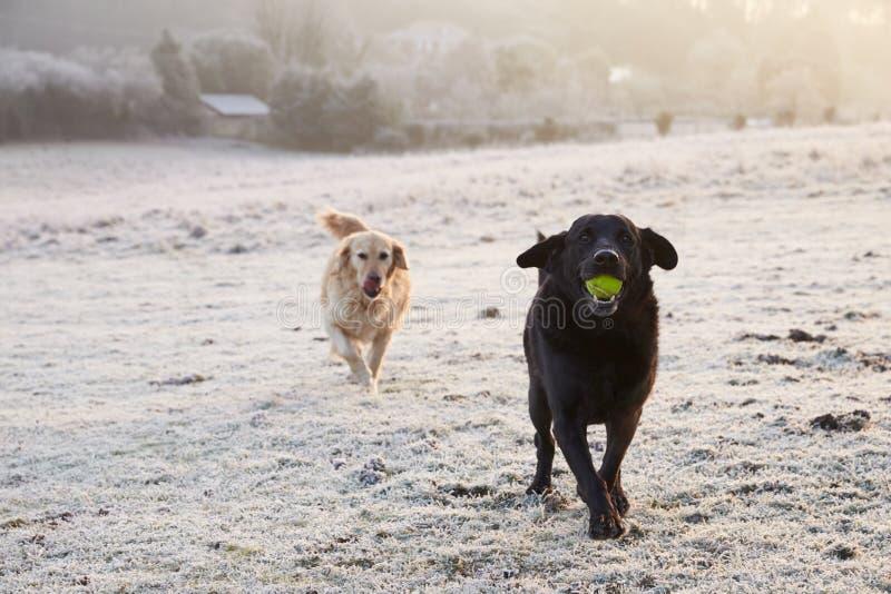 Twee Honden die Frosty Landscape Chasing Ball doornemen stock foto