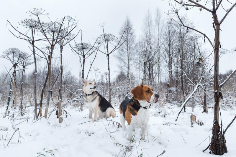 Twee honden die op de winterweide lopen in sneeuw royalty-vrije stock foto's
