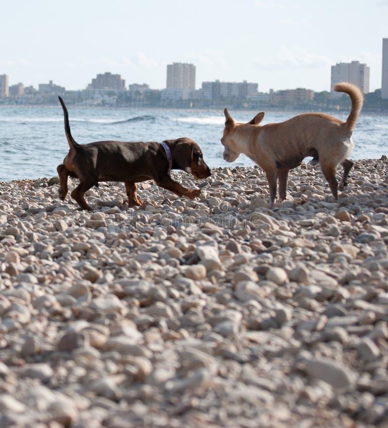 Twee honden die op stoneystrand spelen stock foto