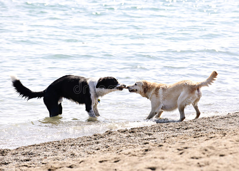 Twee honden die op strand spelen stock fotografie