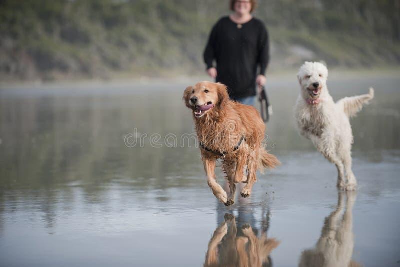 Twee honden die op strand in werking worden gesteld stock foto