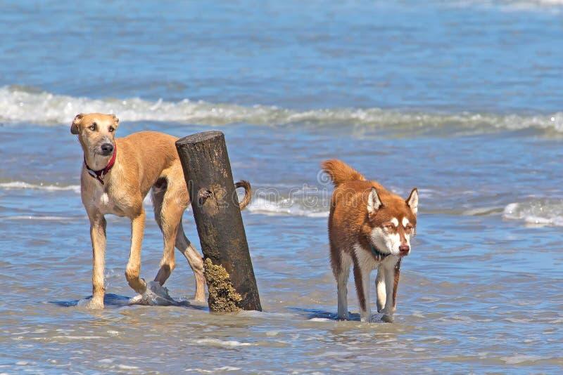 Twee honden die in overzees voorbij houten post waden stock afbeeldingen