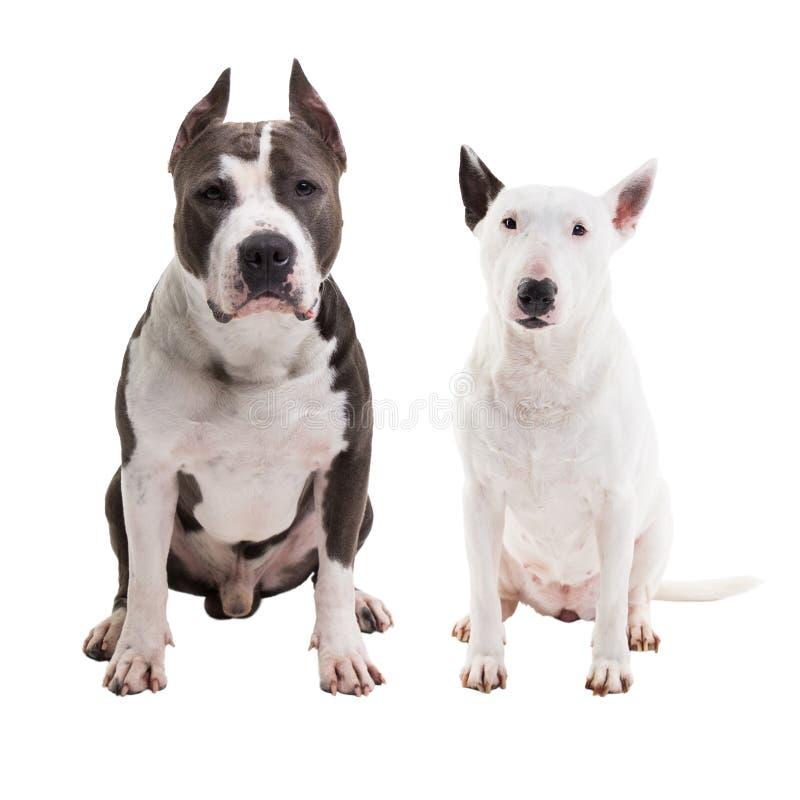 twee honden die rassen - Amerikaanse kuil bull terrier en bull terrier bestrijden - zitten op een witte geïsoleerde achtergrond i stock foto's
