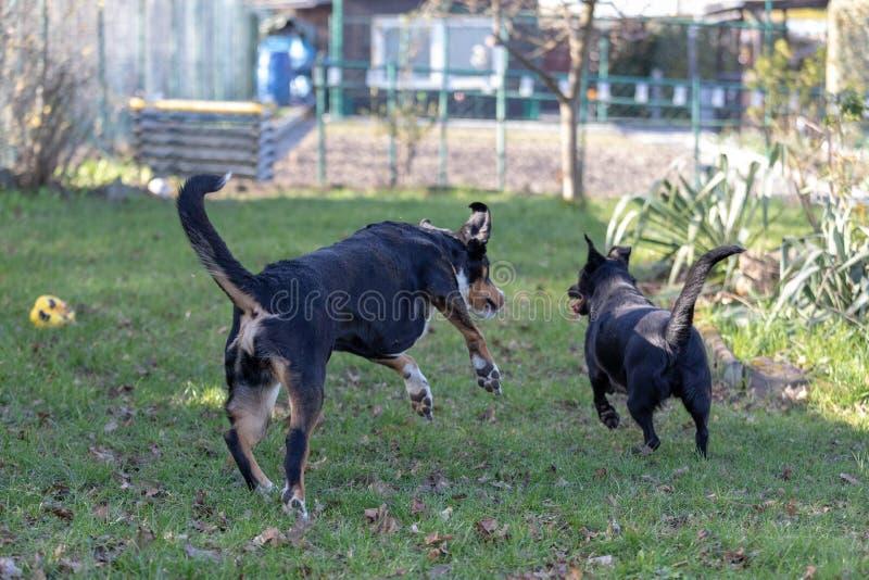 Twee honden die samen in openlucht kleine en grote hond, Appenzeller-Berghond en de mengeling van Labrador spelen stock afbeelding