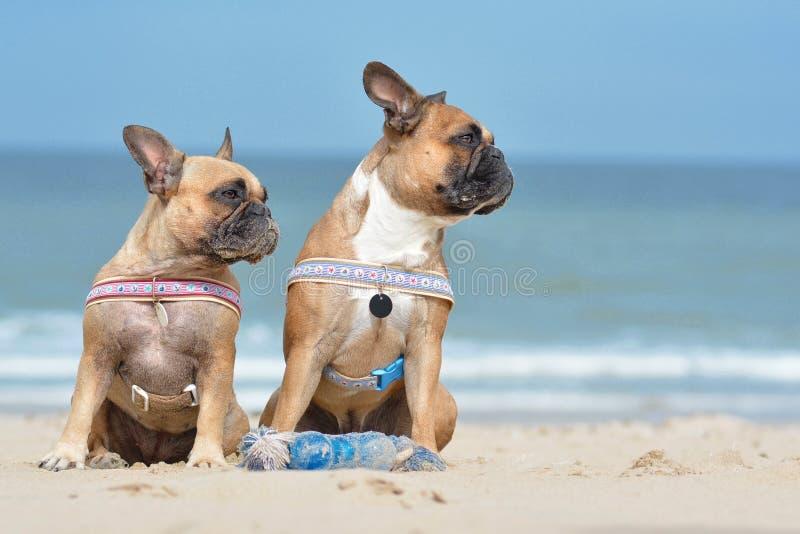 Twee honden die van de fawn Franse Buldog aan de kant kijken terwijl het zitten op strand die aanpassings maritieme uitrustingen  stock foto's