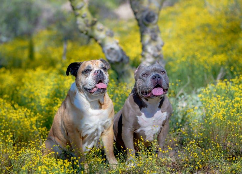 Twee honden die van het stierenras in de gele bloemen zitten royalty-vrije stock fotografie