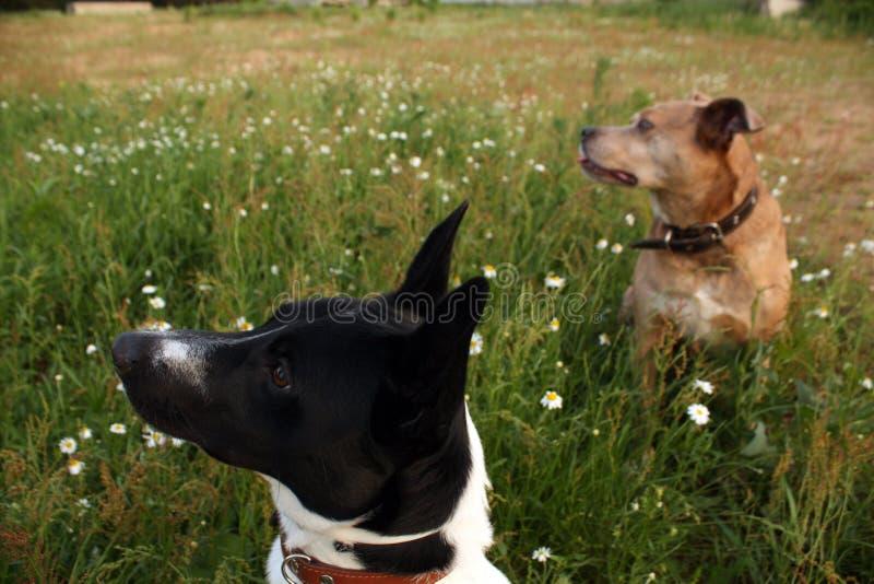 Twee honden in groen gras stock afbeelding
