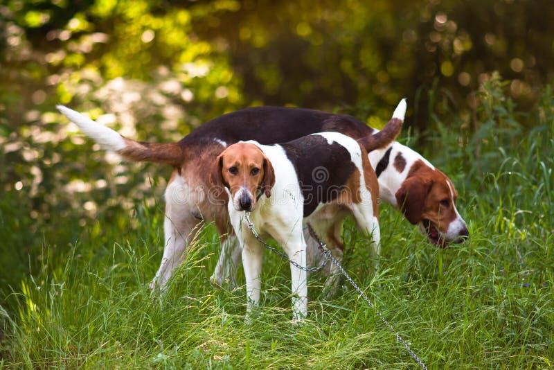 Twee honden in het bos royalty-vrije stock foto's