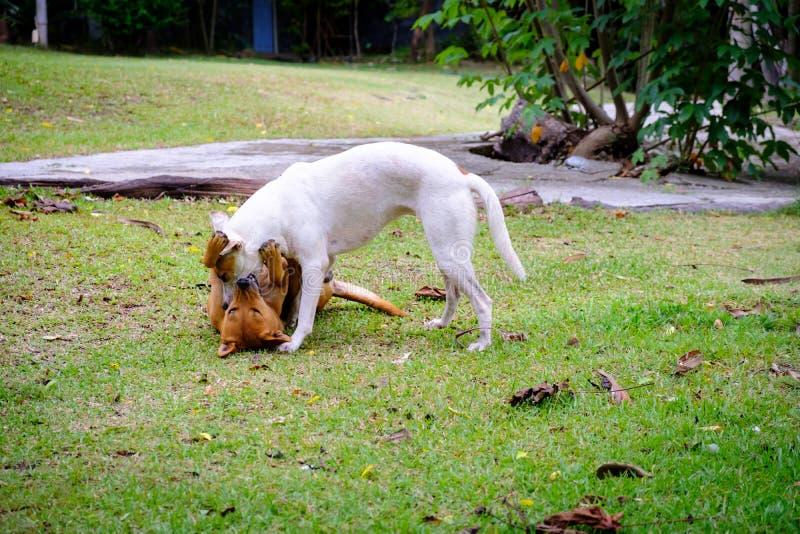 Twee honden het Thaise witte adn rode vechten royalty-vrije stock foto