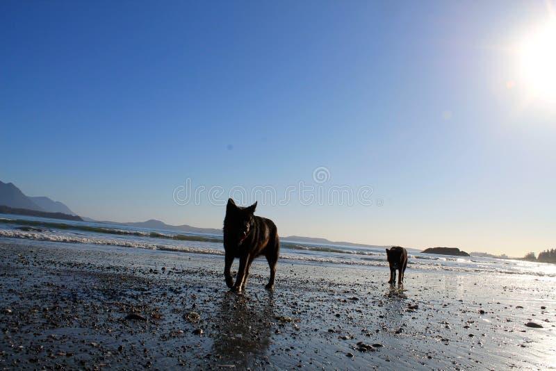 Twee honden lopen de oceaanoever op een briljante zonnige dag royalty-vrije stock foto
