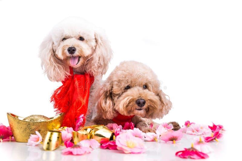 Twee honden op Chinese Nieuwjaar feestelijke plaatsende witte achtergrond stock foto
