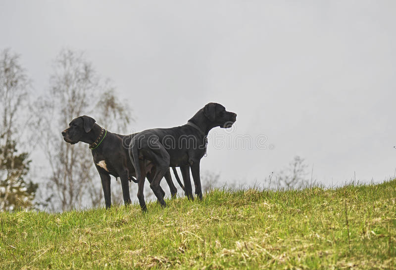 Twee honden op een heuvel stock foto's