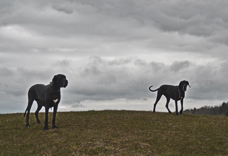 Twee honden op een nevelige heuvel stock afbeelding