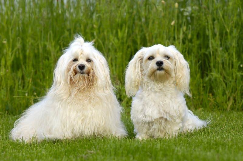 Twee honden op gras royalty-vrije stock afbeelding
