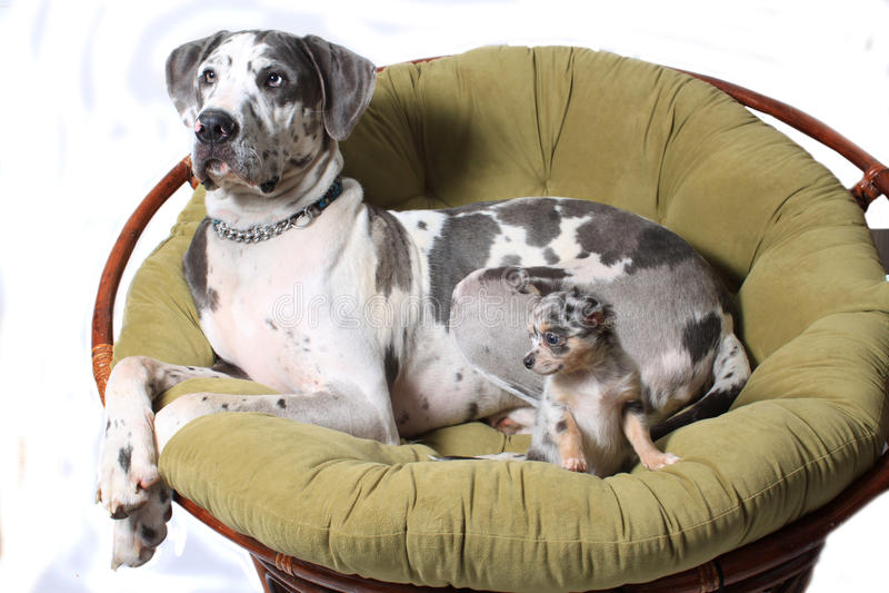 Twee honden op stoel stock afbeeldingen
