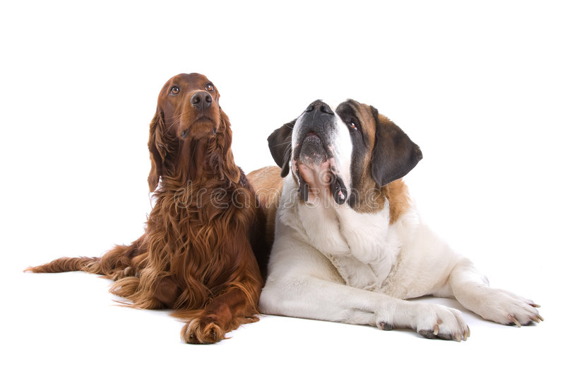 Twee honden op wit royalty-vrije stock fotografie